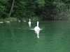 swans-pluszne-lake