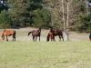 horses-kurki